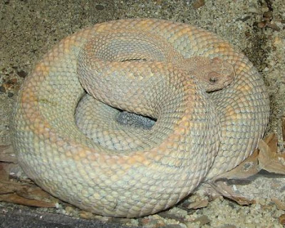 Dangerous Snake Seen On www.coolpicturegallery.us