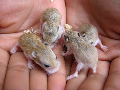 Most adorable photo of baby hamsters being held in hands