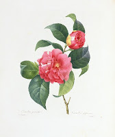 Camellia