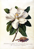 Magnolia grandiflora