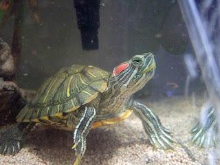 Disease - turtle