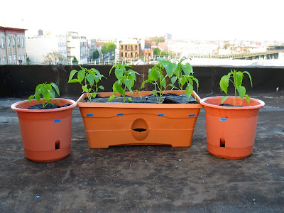 Bushwick Rooftop Container Vegetable Garden