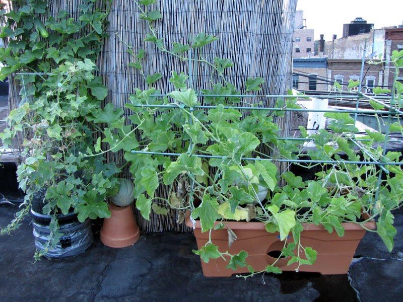 Container Cucumber Trellis Part - 50: Bushwick Rooftop Container Gardening Vegetables