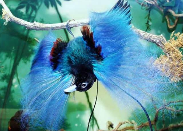 http://3.bp.blogspot.com/_JpbZjqaoBEA/SxT1A9zx31I/AAAAAAAANMs/rqusxsvnM0o/s1600/Blue-Bird-of-Paradise.jpg