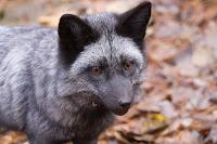 Ann Brokelman Photography: Silver Fox - baby 4 months old