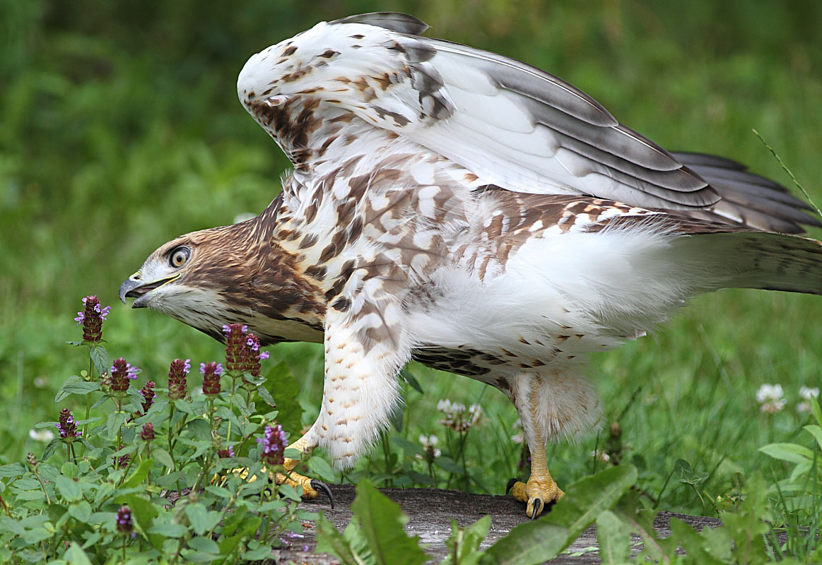 Red-Tailed Hawk Nest 2009-2017: Eyas has Branched June 3, 2010