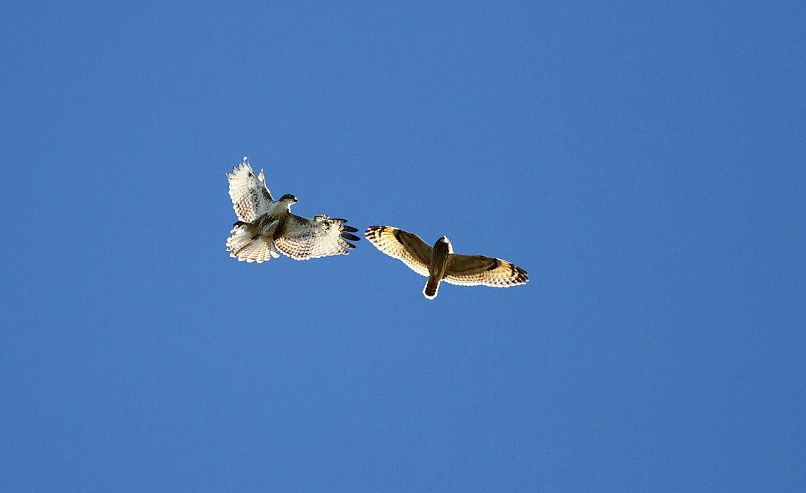 Hawk vs owl - photo#18