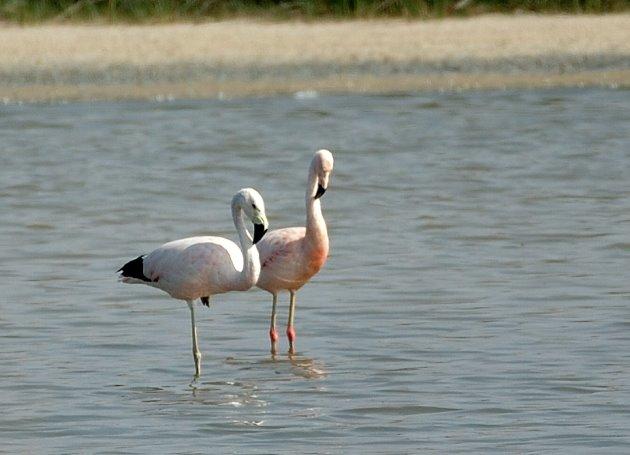 [Flamingo3.JPG]