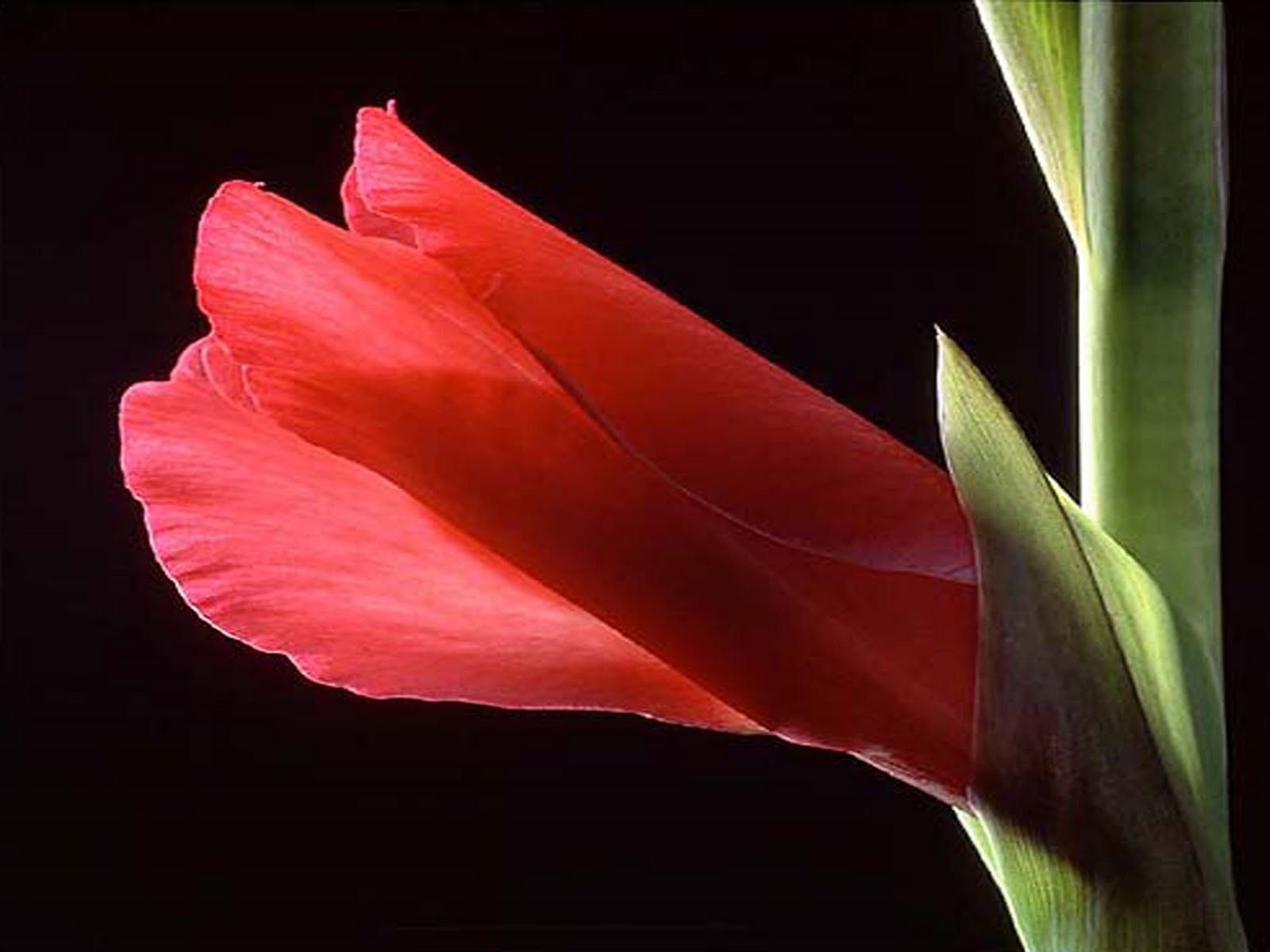 Gladiolus flower pictures Galllery