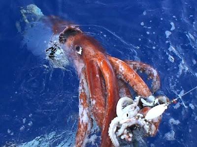 cumi-cumi raksasa, legenda laut