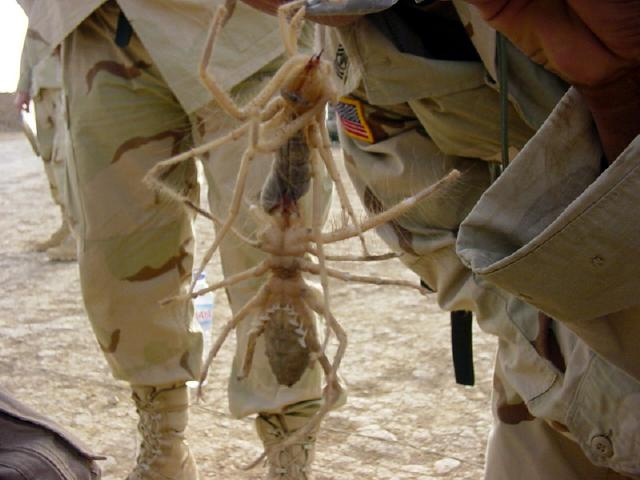 spider bites pictures on humans. camel-spider-ite at