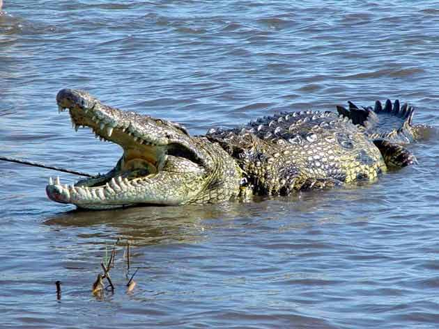 http://3.bp.blogspot.com/_JwTvDWpU4xI/TCD54me2xHI/AAAAAAAACCI/psX9SyAZ8cc/s1600/080623-nile-crocodile-02.jpg