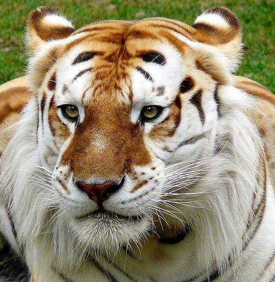 http://3.bp.blogspot.com/_JwTvDWpU4xI/THQR-zApKII/AAAAAAAACvc/hbK31CxPN2o/s640/Golden+Tabby+Tiger+07.jpg