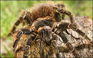Tarantula01 - top ten predators