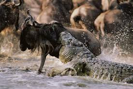 crocodil - top ten predators