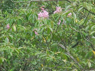 Mountain Laurel Tree
