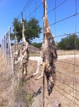 Coyotes hanging on fence