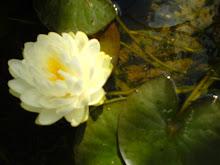Näckros i dammen