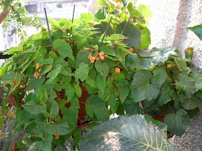 Esp ce sud africaine paris c t jardin - Begonia d interieur arrosage ...