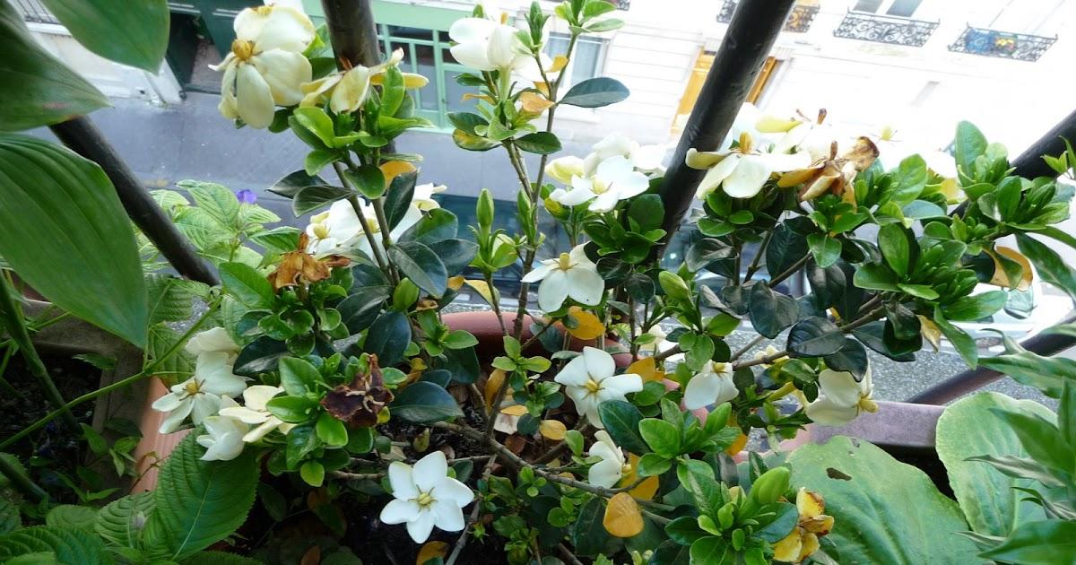 Paris côté jardin: Belle floraison du gardenia rustique