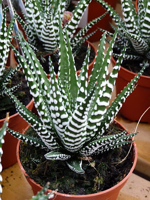Paris c t jardin haworthia fasciata 39 big band 39 for Plantes exterieur resistant gel