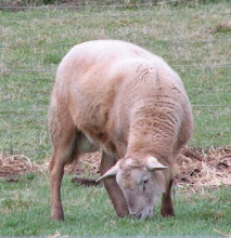 KRK 977 ~ Johann~ Registered RR yearling ram.