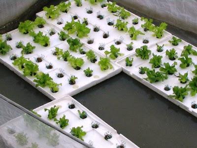 Гидропоника для салата своими руками