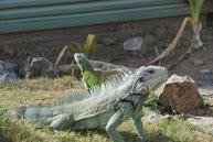 Leguanen in de tuin
