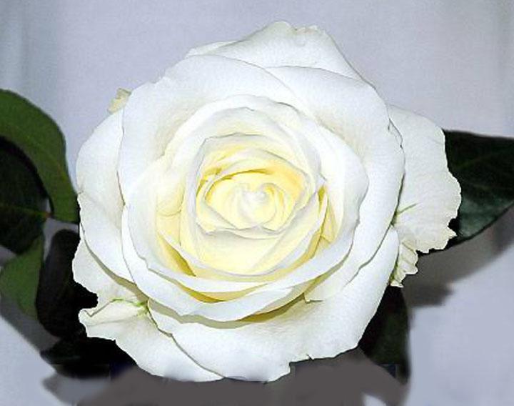 garden rose defaults - White Patience Garden Rose