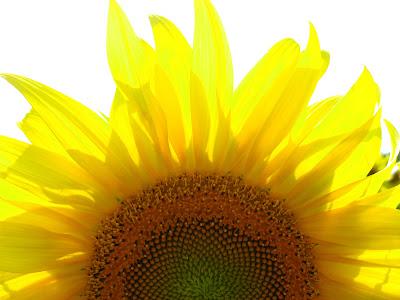 Фотообои цветов подсолнуха