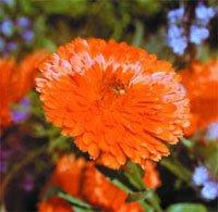 Цветы календулы лекарственной