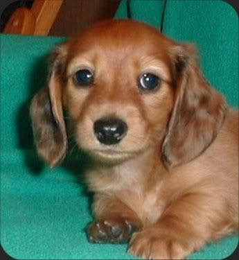 Daschund Puppies on Cute Puppy Pictures