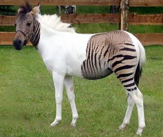 hasil kawin silang kuda dengan zebra