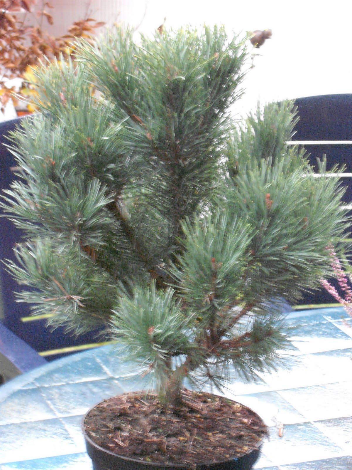 peters bonsai blog pinus sylvestris watereri silberkiefer. Black Bedroom Furniture Sets. Home Design Ideas
