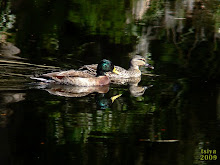 MALLARDS