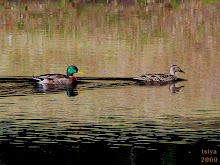 MALLARD  Anas Platyrhynchos