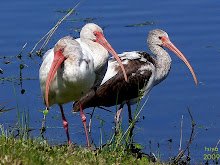 White Ibis  Eudocimus albus