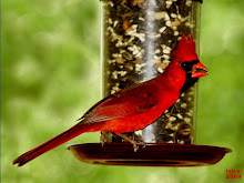 MALE CARDINAL