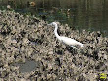 Little Blue Heron, Egretta caerulea, immature