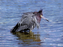 Little Blue Heron, Egretta caerulea, adult breeding plumage