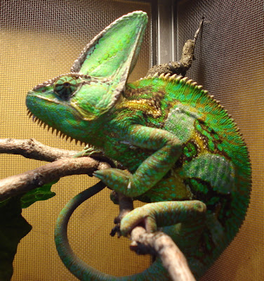 Successful Keeping of Veiled Chameleons