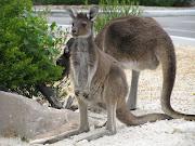 Kangoeroes gespot