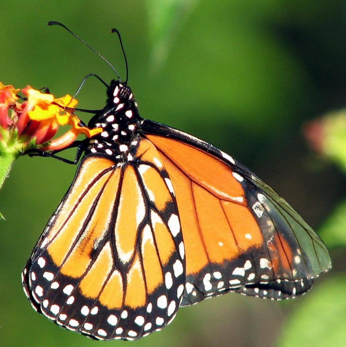 http://3.bp.blogspot.com/_K960bDMuCIE/TMIJKi5DMsI/AAAAAAAAAJo/V7NjRdLxlS4/s1600/monarca1.jpg