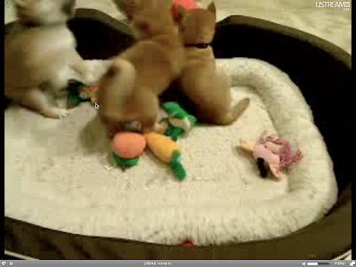 shiba inu puppy. Shiba Inu Puppy Cam is a site