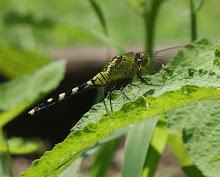 a green dragonfly (lookin' at you)