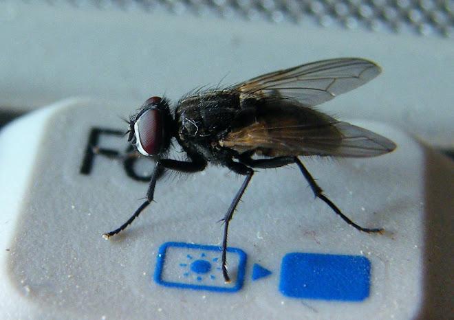 mosca informatica Ac! se brutta!