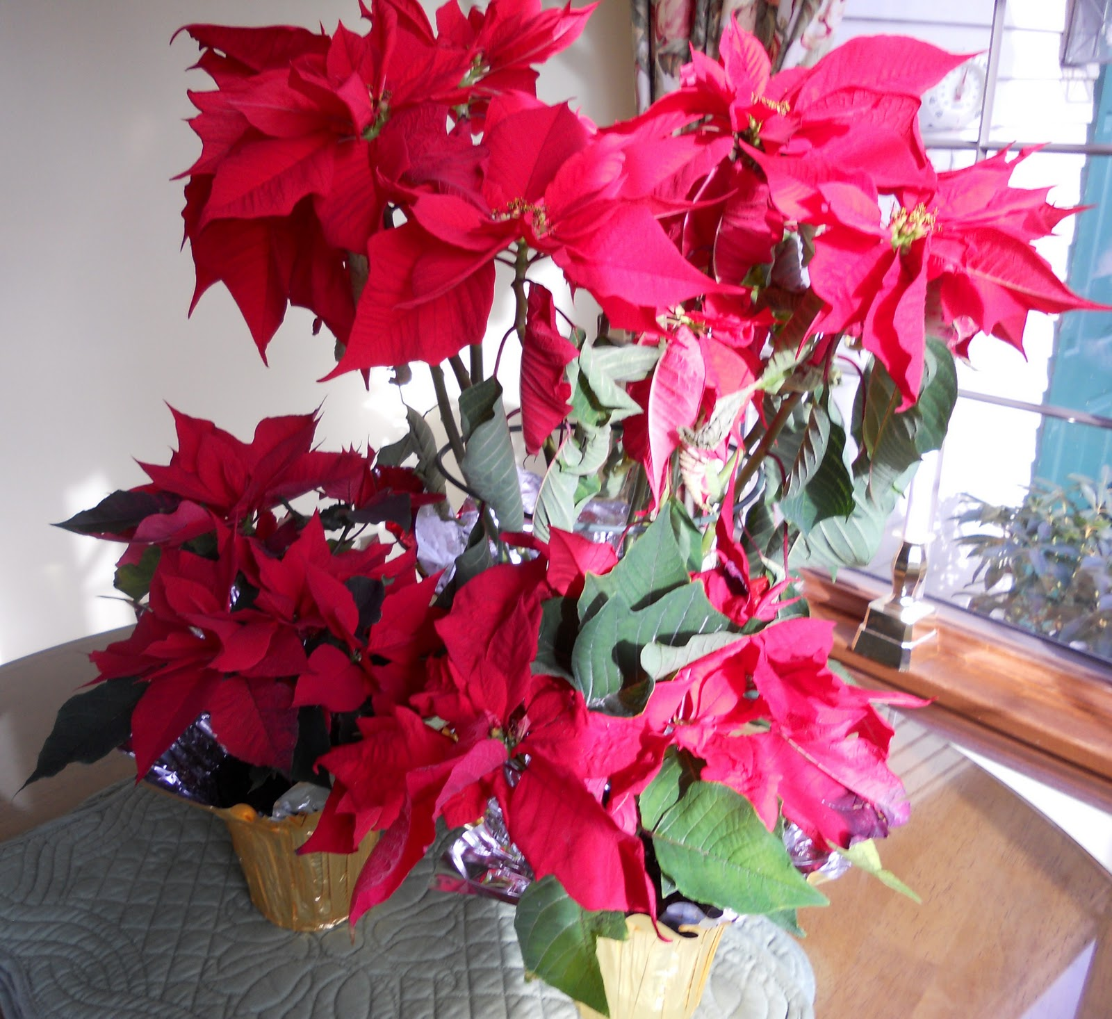 What To Do With Holiday Poinsettia Plants Just One Donna