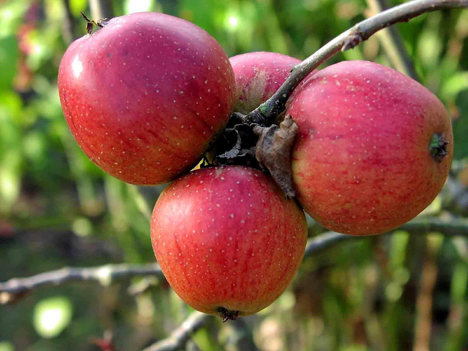 Яблоко от яблони часть 3 12 фотография