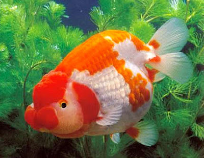 Ten beautiful breeds of goldfish the random science for Japanese ornamental fish