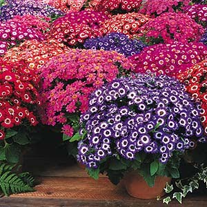 Cineraria :- Beautiful plant. grows in shade and give different color of  flower depending on PH value of soil.